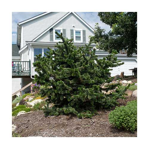 Bristlecone Pine 3 Gallon Pot